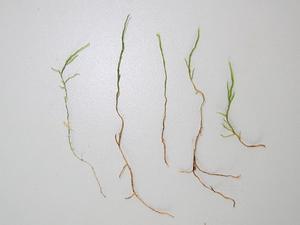 Calliergon Moss