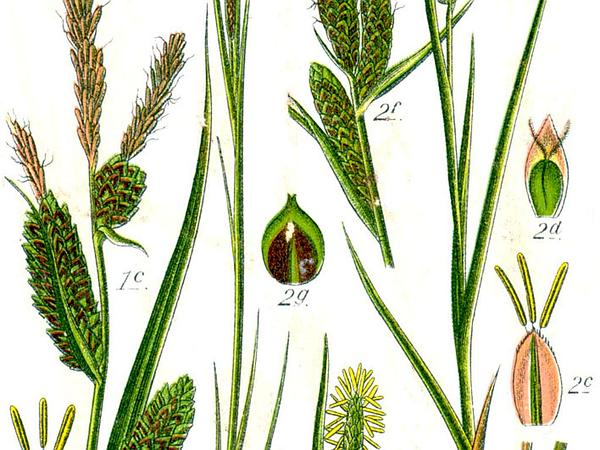 Upright Sedge (Carex Stricta) https://www.sagebud.com/upright-sedge-carex-stricta