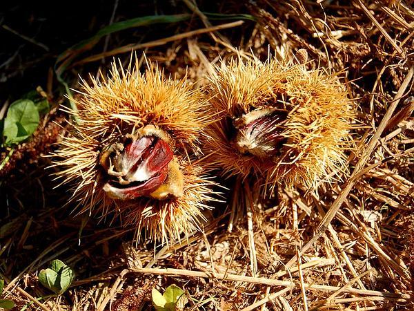 Chestnut (Castanea) https://www.sagebud.com/chestnut-castanea