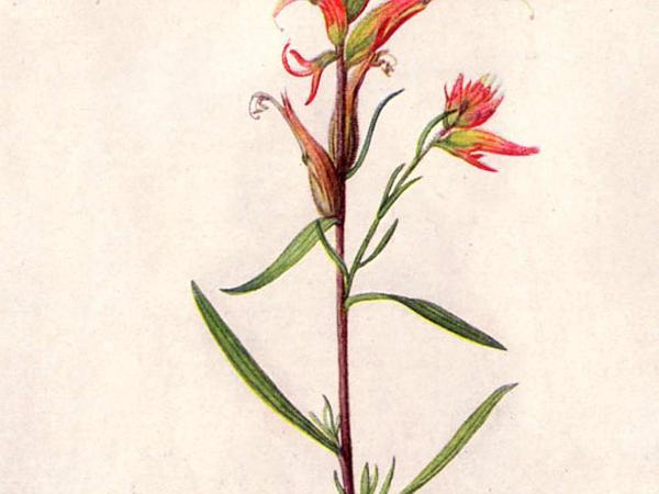 Indian Paintbrush (Castilleja) https://www.sagebud.com/indian-paintbrush-castilleja