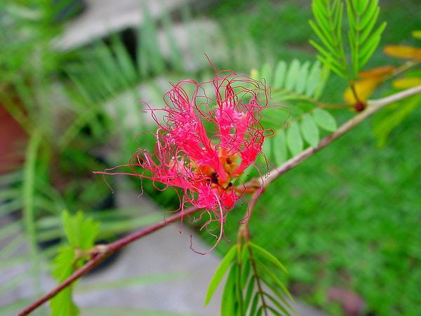 Surinamese Stickpea (Calliandra Surinamensis) https://www.sagebud.com/surinamese-stickpea-calliandra-surinamensis