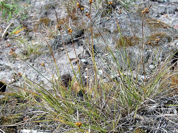 Weak Arctic Sedge (Carex Supina) https://www.sagebud.com/weak-arctic-sedge-carex-supina