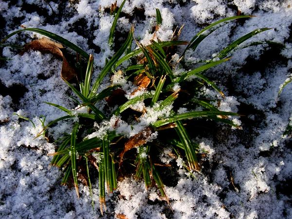 European Woodland Sedge (Carex Sylvatica) https://www.sagebud.com/european-woodland-sedge-carex-sylvatica