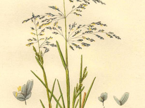 Whorlgrass (Catabrosa) https://www.sagebud.com/whorlgrass-catabrosa
