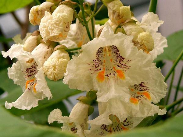 Catalpa (Catalpa) https://www.sagebud.com/catalpa-catalpa