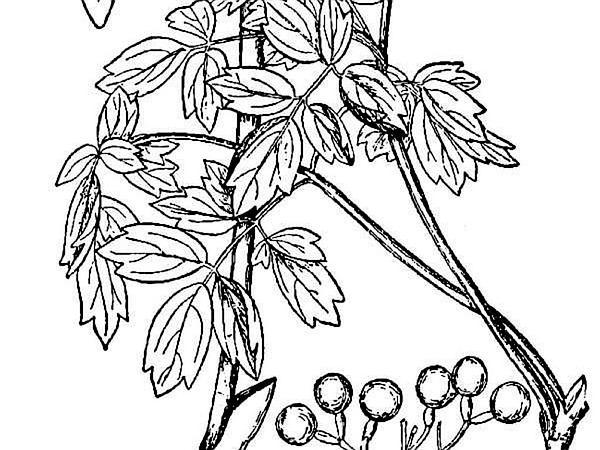 Blue Cohosh (Caulophyllum Thalictroides) https://www.sagebud.com/blue-cohosh-caulophyllum-thalictroides