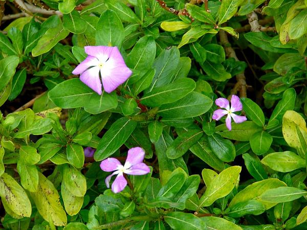 Periwinkle (Catharanthus) https://www.sagebud.com/periwinkle-catharanthus