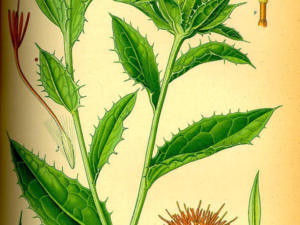 Safflower (Carthamus Tinctorius) https://www.sagebud.com/safflower-carthamus-tinctorius/