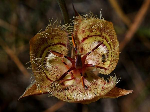 Tiburon Mariposa Lily (Calochortus Tiburonensis) https://www.sagebud.com/tiburon-mariposa-lily-calochortus-tiburonensis