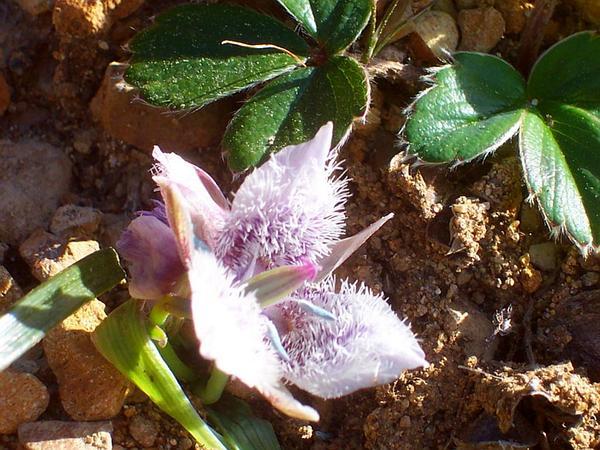 Tolmie Star-Tulip (Calochortus Tolmiei) https://www.sagebud.com/tolmie-star-tulip-calochortus-tolmiei
