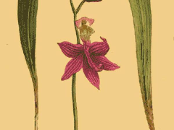 Tuberous Grasspink (Calopogon Tuberosus) https://www.sagebud.com/tuberous-grasspink-calopogon-tuberosus