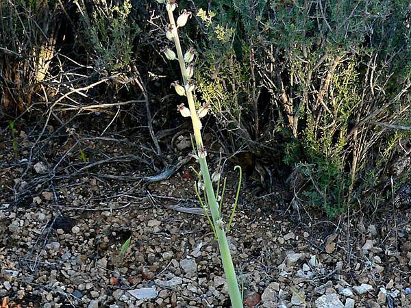 Wild Cabbage (Caulanthus) https://www.sagebud.com/wild-cabbage-caulanthus
