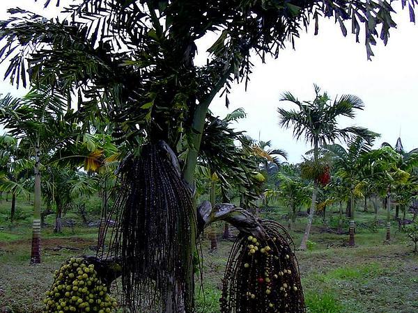 Jaggery Palm (Caryota Urens) https://www.sagebud.com/jaggery-palm-caryota-urens
