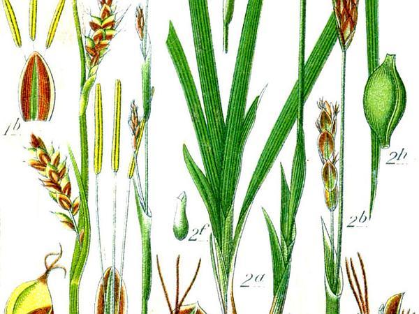 Sheathed Sedge (Carex Vaginata) https://www.sagebud.com/sheathed-sedge-carex-vaginata/