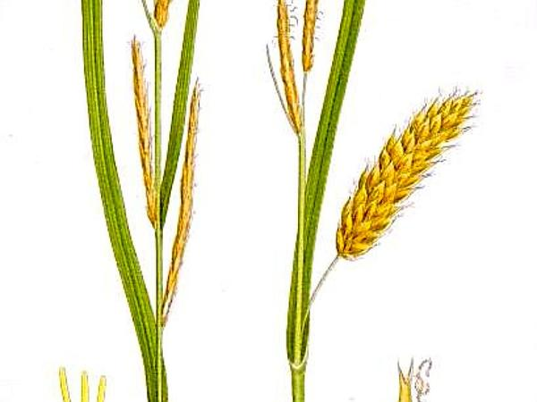 Blister Sedge (Carex Vesicaria) https://www.sagebud.com/blister-sedge-carex-vesicaria/