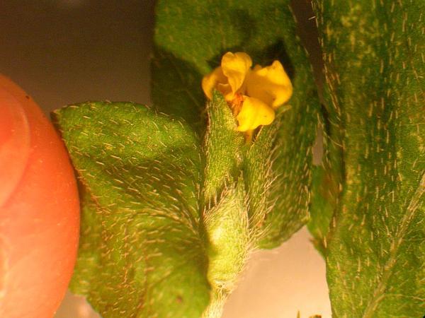 Straggler Daisy (Calyptocarpus Vialis) https://www.sagebud.com/straggler-daisy-calyptocarpus-vialis
