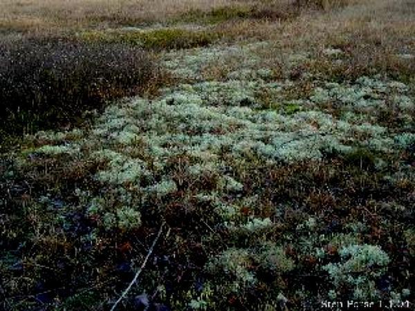 Heather (Calluna Vulgaris) https://www.sagebud.com/heather-calluna-vulgaris