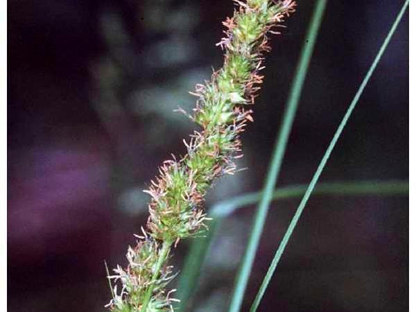 Fox Sedge (Carex Vulpinoidea) https://www.sagebud.com/fox-sedge-carex-vulpinoidea