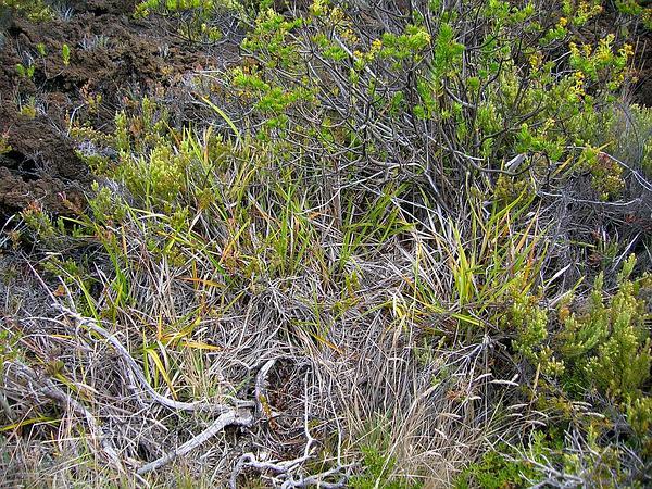 Oahu Sedge (Carex Wahuensis) https://www.sagebud.com/oahu-sedge-carex-wahuensis