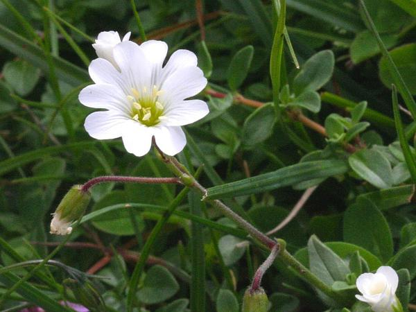 Alpine Chickweed (Cerastium Alpinum) https://www.sagebud.com/alpine-chickweed-cerastium-alpinum