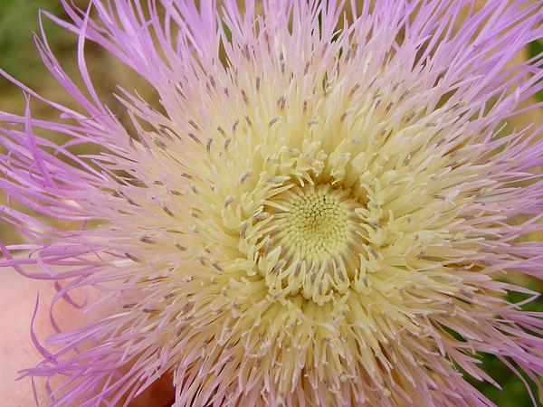 American Star-Thistle (Centaurea Americana) https://www.sagebud.com/american-star-thistle-centaurea-americana