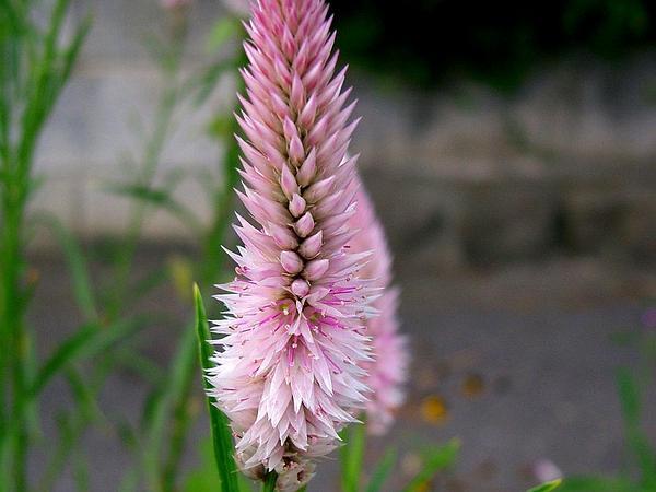 Silver Cock's Comb (Celosia Argentea) https://www.sagebud.com/silver-cocks-comb-celosia-argentea