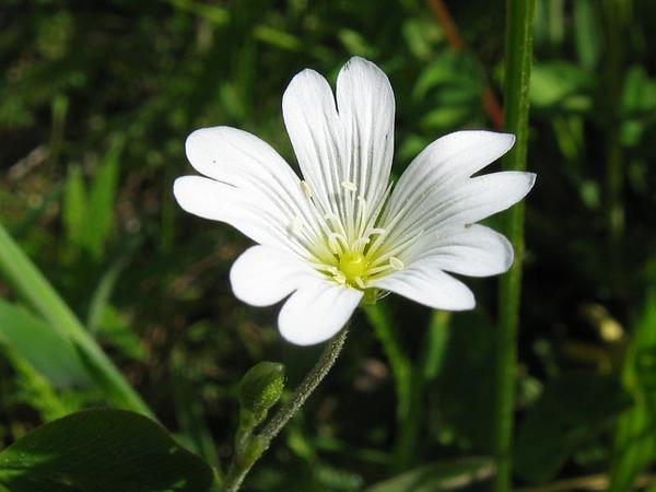 Field Chickweed (Cerastium Arvense) https://www.sagebud.com/field-chickweed-cerastium-arvense