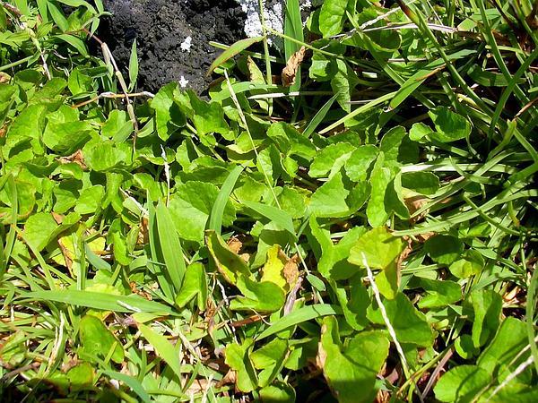Spadeleaf (Centella Asiatica) https://www.sagebud.com/spadeleaf-centella-asiatica/