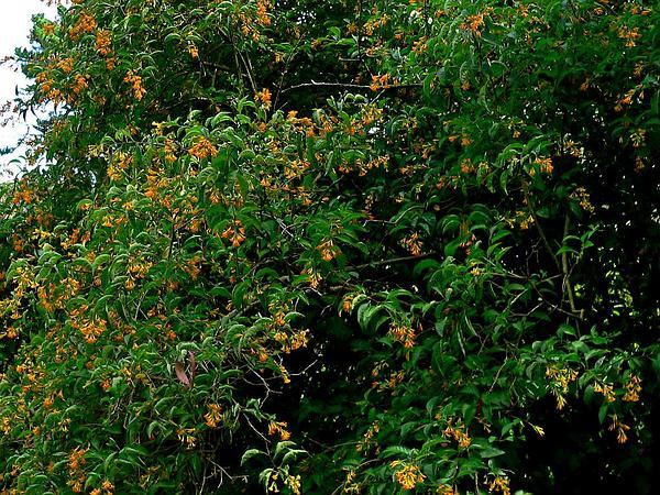Orange Jessamine (Cestrum Aurantiacum) https://www.sagebud.com/orange-jessamine-cestrum-aurantiacum/