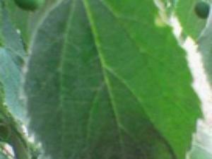 European Hackberry