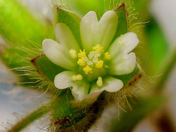 Gray Chickweed (Cerastium Brachypetalum) https://www.sagebud.com/gray-chickweed-cerastium-brachypetalum