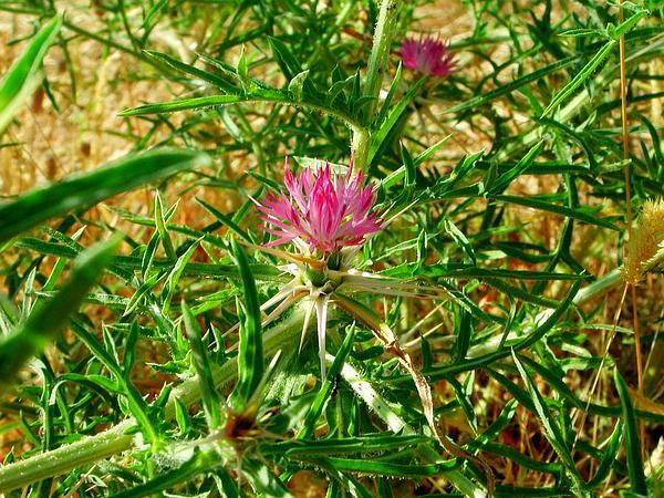 Red Star-Thistle (Centaurea Calcitrapa) https://www.sagebud.com/red-star-thistle-centaurea-calcitrapa