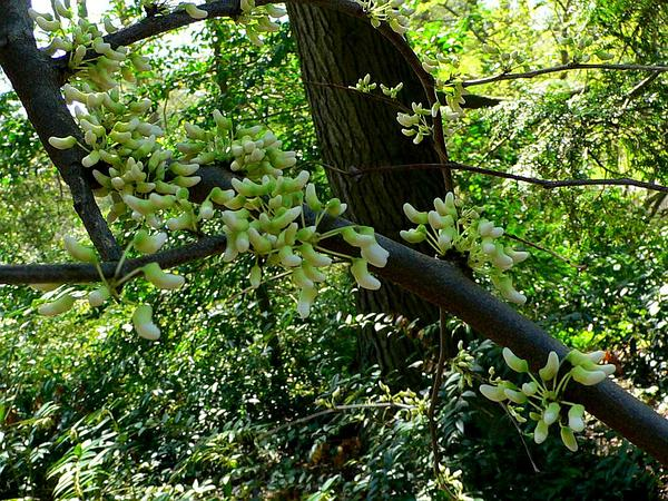 Eastern Redbud (Cercis Canadensis) https://www.sagebud.com/eastern-redbud-cercis-canadensis