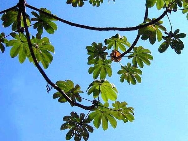 Pumpwood (Cecropia) https://www.sagebud.com/pumpwood-cecropia