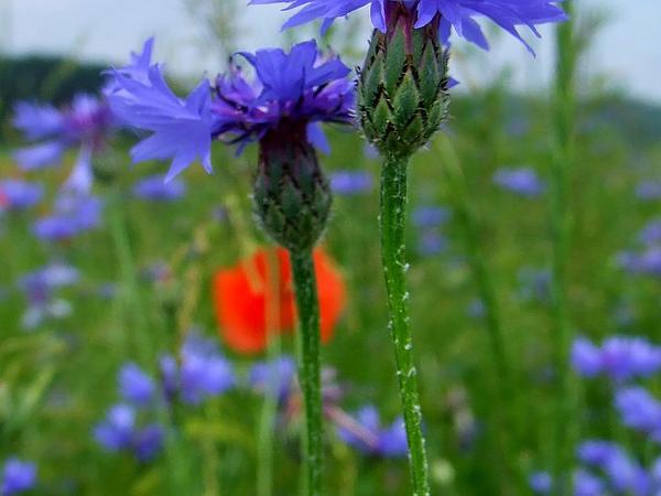 Garden Cornflower (Centaurea Cyanus) https://www.sagebud.com/garden-cornflower-centaurea-cyanus