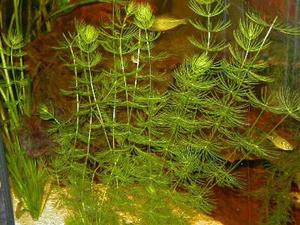 Coon's Tail (Ceratophyllum Demersum) https://www.sagebud.com/coons-tail-ceratophyllum-demersum