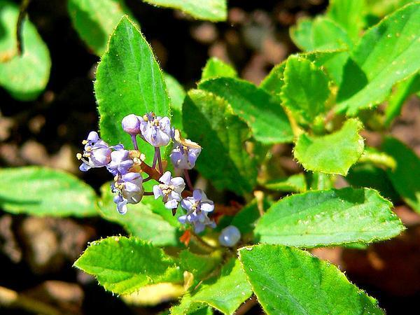 Pinemat (Ceanothus Diversifolius) https://www.sagebud.com/pinemat-ceanothus-diversifolius/