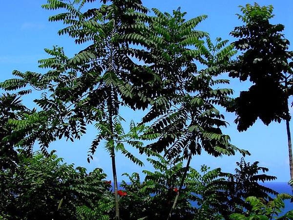 Cedrela (Cedrela) https://www.sagebud.com/cedrela-cedrela/
