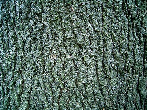 Cedar (Cedrus) https://www.sagebud.com/cedar-cedrus/