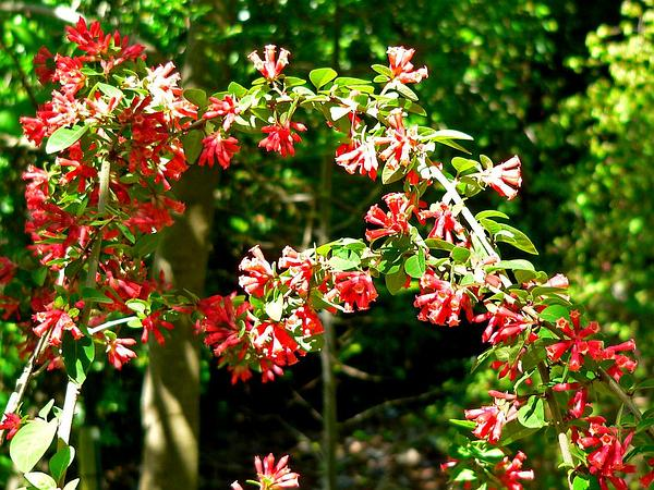 Early Jessamine (Cestrum Fasciculatum) https://www.sagebud.com/early-jessamine-cestrum-fasciculatum/