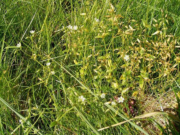 Common Mouse-Ear Chickweed (Cerastium Fontanum) https://www.sagebud.com/common-mouse-ear-chickweed-cerastium-fontanum/