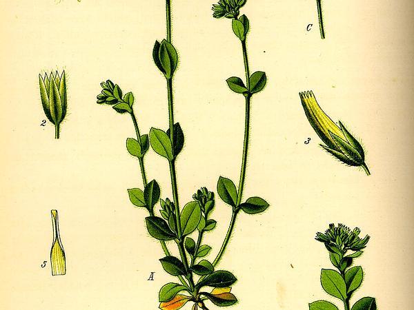 Sticky Chickweed (Cerastium Glomeratum) https://www.sagebud.com/sticky-chickweed-cerastium-glomeratum