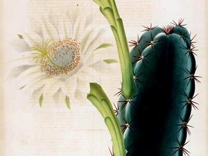 Lady Of The Night Cactus