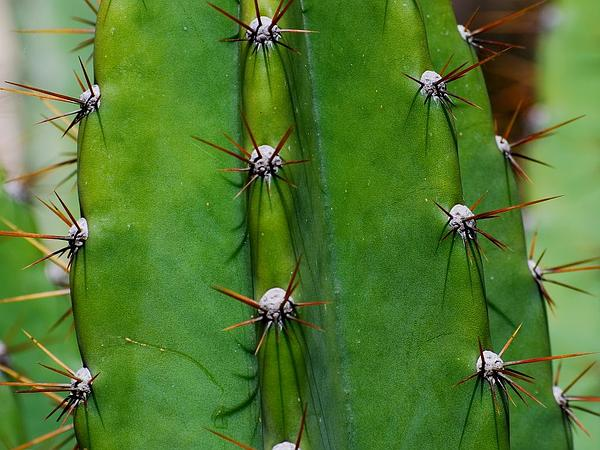 Lady Of The Night Cactus (Cereus Hexagonus) https://www.sagebud.com/lady-of-the-night-cactus-cereus-hexagonus