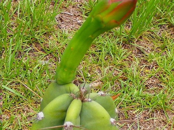 Hedge Cactus (Cereus Hildmannianus) https://www.sagebud.com/hedge-cactus-cereus-hildmannianus/