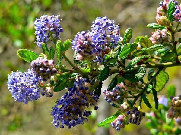 Santa Barbara Ceanothus (Ceanothus Impressus) https://www.sagebud.com/santa-barbara-ceanothus-ceanothus-impressus