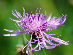 Brownray Knapweed