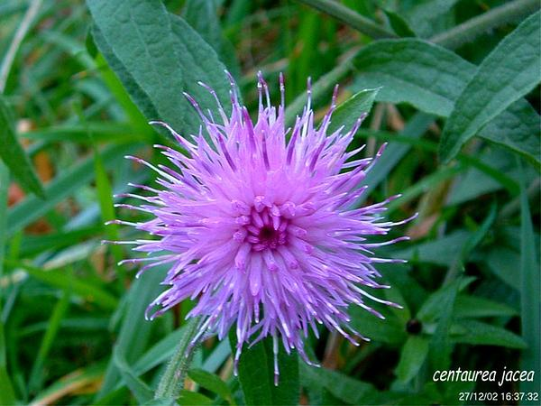 Brownray Knapweed (Centaurea Jacea) https://www.sagebud.com/brownray-knapweed-centaurea-jacea