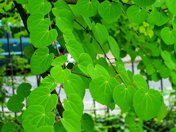 Katsura Tree (Cercidiphyllum Japonicum) https://www.sagebud.com/katsura-tree-cercidiphyllum-japonicum