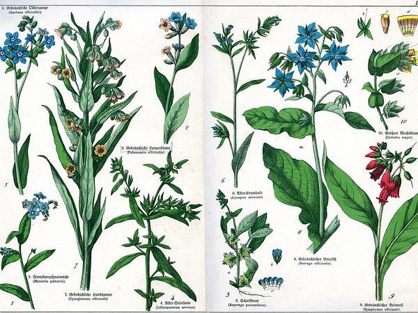 Honeywort (Cerinthe Major) https://www.sagebud.com/honeywort-cerinthe-major